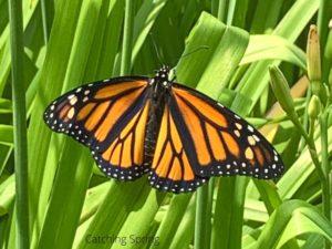 6 Best Practices to Raise Monarchs