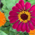 why you need the beautiful zinnia in your yard
