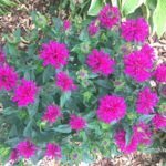 beautiful native plants you need for your Midwest garden