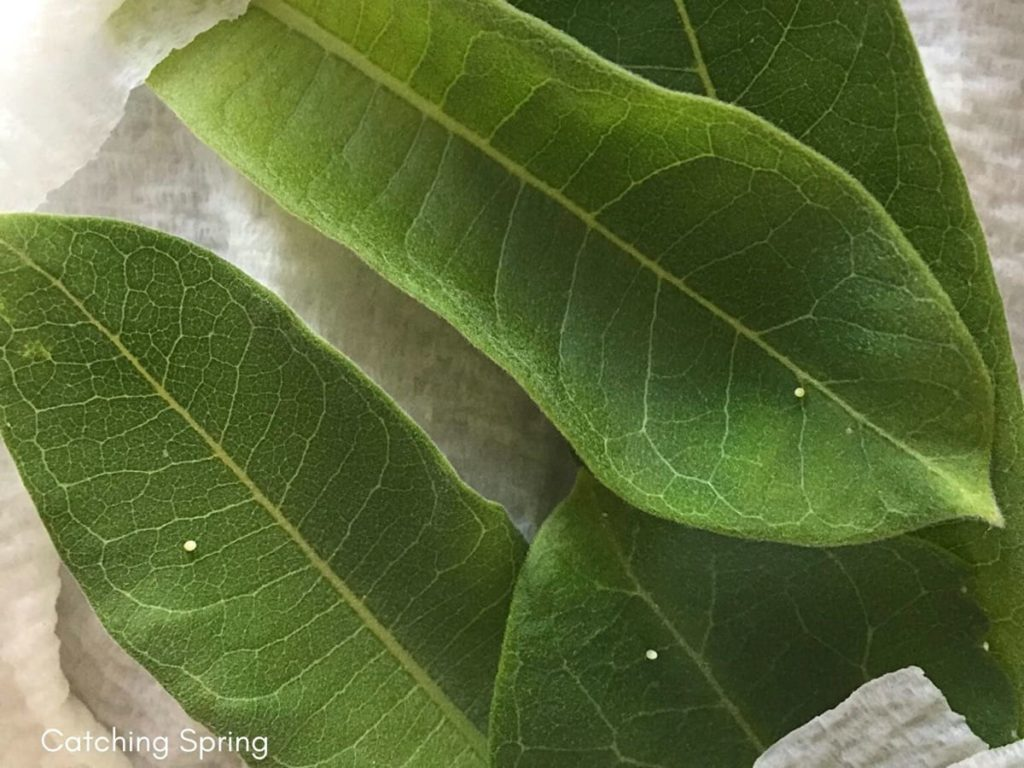 Feeding Monarch caterpillars essential and easy steps how to keep milkweed