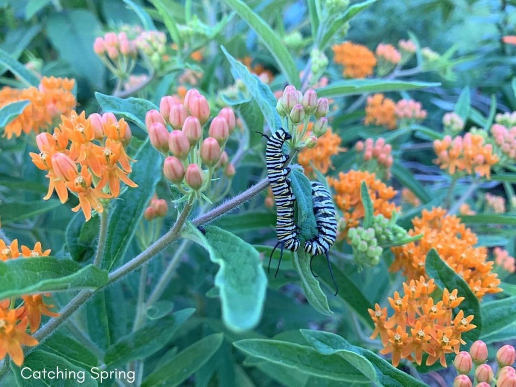 Feeding Monarch caterpillars essential and easy steps finding milkweed