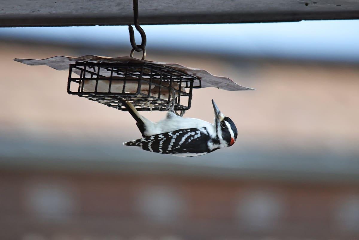 3 easy homemade suet recipes to attract more birds
