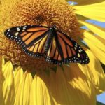 Top pollinator annuals you need to grow